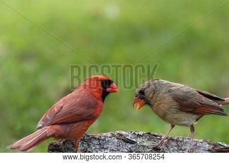 Northern Cardinal Couple, Cardinalis Cardinalis, Perched On Tree Stump In Late Afternoon Green Grass