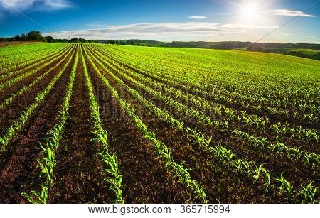 Agriculture Shot: Rows Of Young Corn Plants Growing On A Vast Field With Dark Fertile Soil Leading T