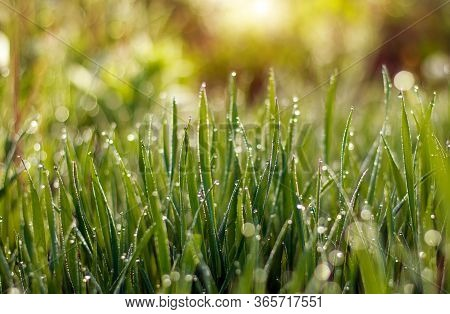 Fresh Green Grass Growing In The Meadow With Drops Of Morning Dew In The Sun Light
