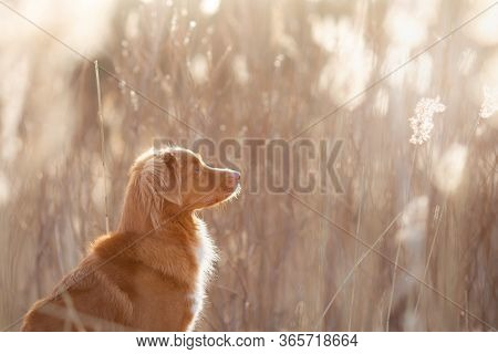 The Dog Waves I Paws. Nova Scotia Duck Tolling Retriever In Nature. Beautiful Pet In Tall Grass On T