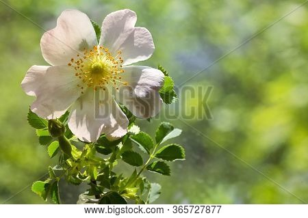 Pink Wild Rose Flowers (rosa Canina) In Forest