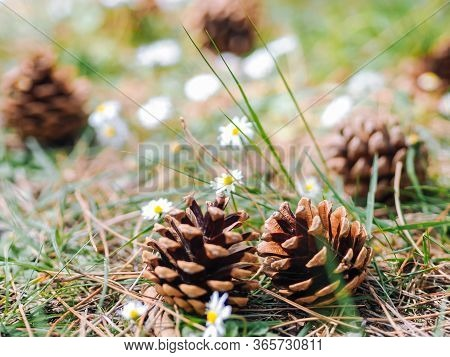 Several Pine Or Fur Cones Fallen On The Ground In The Forest With Daisy Flowers In A Summer Day. Cle