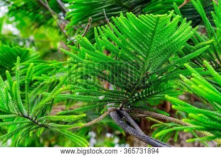 Close Up Of Araucaria Heterophylla, Excelsa Branch With Soft Focus. Araucaria Rare Evergreen Conifer
