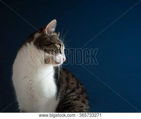 A Thoughtful Domestic White-brown Cat With Patches Sits On A Navy Blue Background, The Cat's Whisker