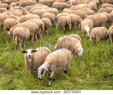 Herd Of Sheep Grazing In Grassland Near Huesca, Aragon, Spain