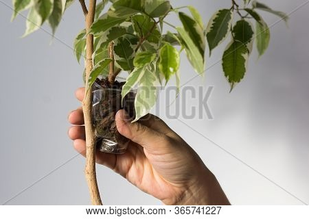 Woman Hand Putting Cup With Special Soil On Ficus Branch To Make Roots On Removed Part Bark Of Ficus