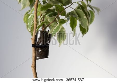 Ficus Branch With Cup On It To Make Roots On Stem To Produce Offshoot On Trunk On The White Backgrou
