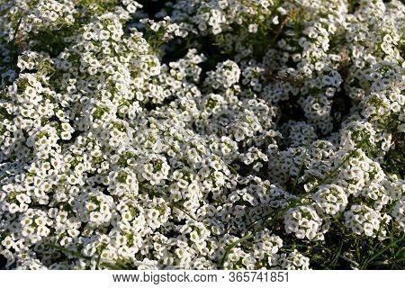 White Flowers Of Lobularia Maritima. Alyssum Is Vegetative. Beautiful White Flowers In The Flowerbed