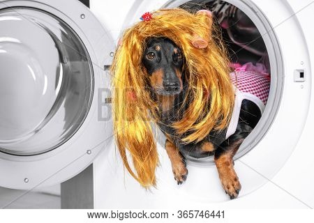 Funny Little Dachshund Wearing Red And White Checkered Maid Costume And Golden Blond Wig Peeking Out
