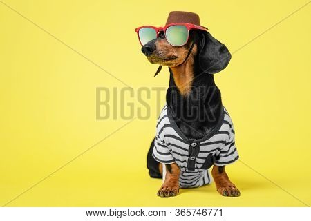Dachshund Dog In Striped Tshirt, Sunglasses And Wide Brimmed Cowboy Hat Dreams Of Vacation Sitting O