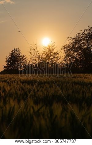 Silhouettes Of Trees And Bushes Behind A Rye Field Against An Hazy Evening Sky.