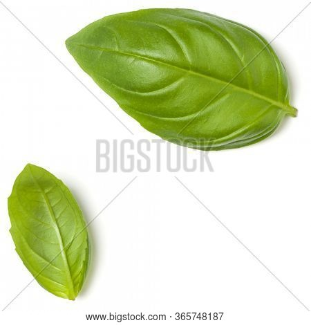 Sweet Basil herb leaves isolated over white background closeup. Flat lay, top view.