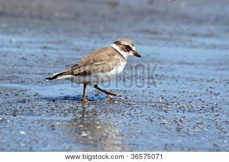 Semipalmated Plover (charadrius Semipalmatus)