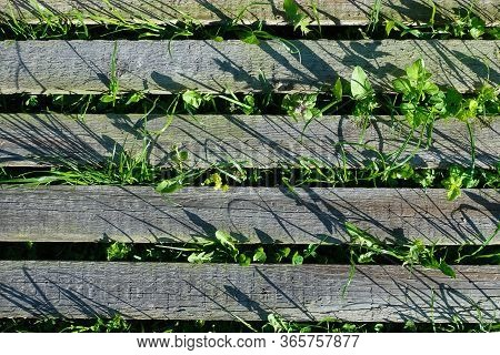 Background Image. Parallel Wooden Boards. Grass Grows Between Them. Top View
