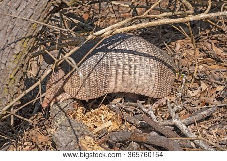 Nine Banded Armadillo Searching For Food In The Undergrowth In The Aransas National Wildlife Refuge