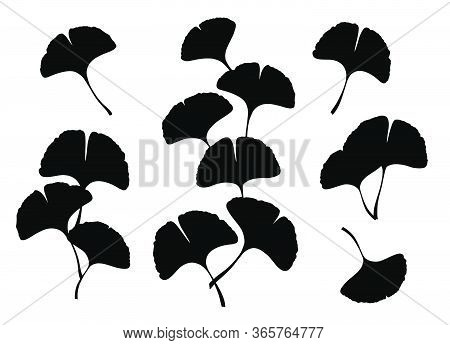 Ginkgo Or Gingko Biloba Leaves And Branches Set. Nature Botanical Vector Silhouette Illustration, He