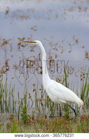Great Egret (ardea Alba) In Mating Season. Ottawa National Wildlife Refuge. Port Clinton. Ohio. Usa