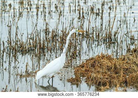 Great Egret In Mating Season. Bombay Hook National Wildlife Refuge. Delaware. Usa
