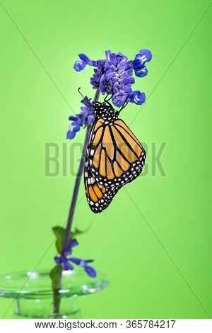 Newly Emerged Monarch Butterfly (danaus Plexippus) On Blue Salvia Flower In A Glass Vase. Green Back