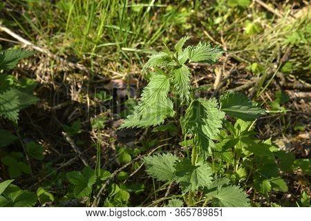 Nettle In The Spring Forest. Common Nettle, Stinger Plant During Flowering In Natural Environment