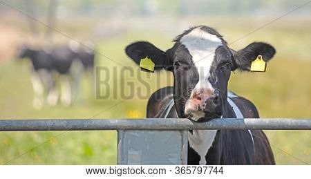 Closeup Shot Of A Cow S Head Over A Fence, Black And White Cow