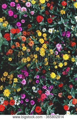 Colorful Flower In Dark Shadow Graden,many Zinnia Flower In Garden Topview