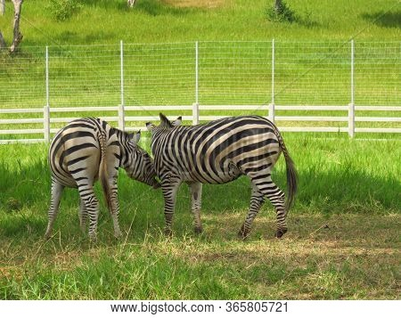 Herd Zebras Are Grazing  In The Zoo With Green Field Background.