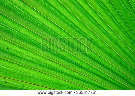 Close Up Of Green Palm Leaf Background Theme, Macro Of Palm Leaf Background, Green Coconut Or Palm L