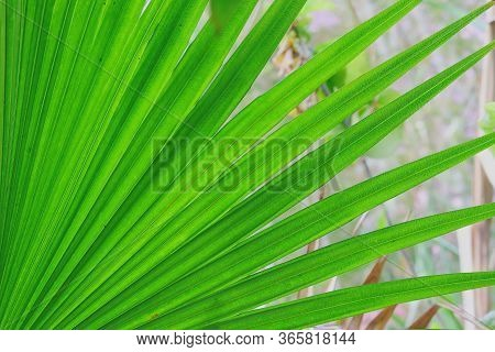 Macro Image Of Palm Leaf Background Theme With Copy Space, Green Palm Leaf Photo, Close Up Of Green