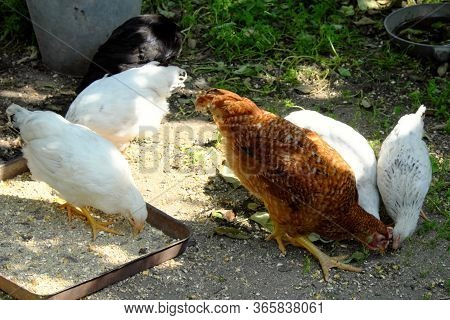 A Red Rooster And Several White Chickens Pecking Grain.