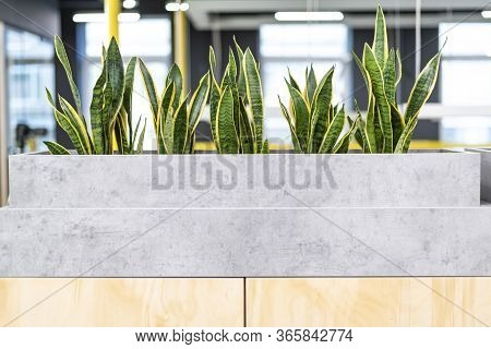 Mother-in-law's Plant In Modern Open Office Space. Green Plants In Modern Office. Concept Of Healthy