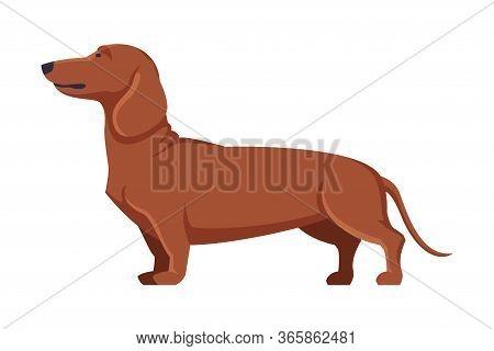 Dachshund Purebred Dog, Pet Animal, Side View Vector Illustration