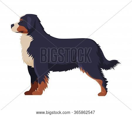 Bernese Mountain Dog Purebred Dog, Pet Animal, Side View Vector Illustration