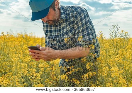 Farmer Using Smart Phone In Blooming Canola Field, Male Agronomist Using Mobile Phone App For Crop C