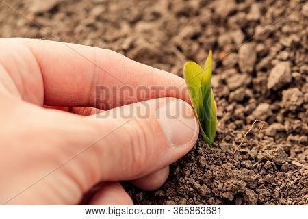 Farmer Examining Maize Plant Sprout In Field, Close Up Of Hand With Selective Focus