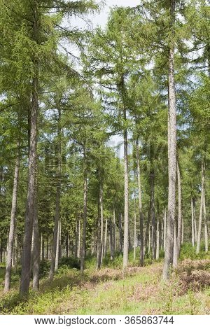 Pine Trees In A Coniferous Forest, Forestry Woodland In Chiltern Hills, Uk