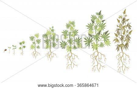 Hemp Plant Growth Cycle Flat Vector Collection. Cannabis Or Marijuana Growing Illustration Set. Weed