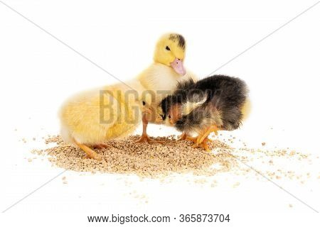 Little Chickens And Yellow Duckling Pecking Grain Isolated On White Background
