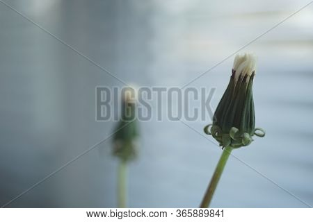 Closed Dandelion Flower Closeup On The Windowsill, Jalousie And Another Flower In Blurred Background