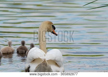 Swan. White Swans. Goose. Swan Family Walking On Water. Swan Bird With Little Swans. Swans With Nest