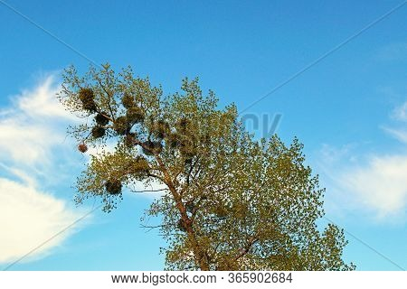 Spring Tree With European Mistletoe (viscum Album) Against Blue Sky With White Clouds. Mistletoe On