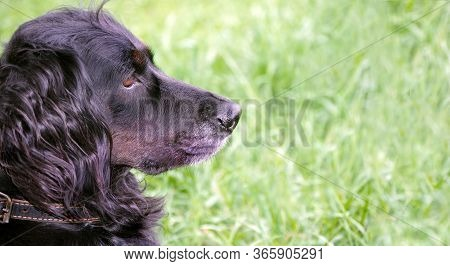 Gordon Setter. Hunting Dog In The Grass. Copy Space.