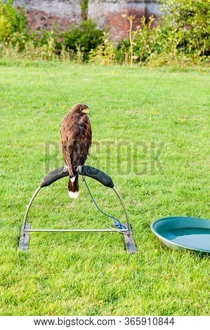 White-tailed Eagle (haliaeetus Albicilla) Sitting On A Plastic Grass Perch Next To The Bowl With Wat