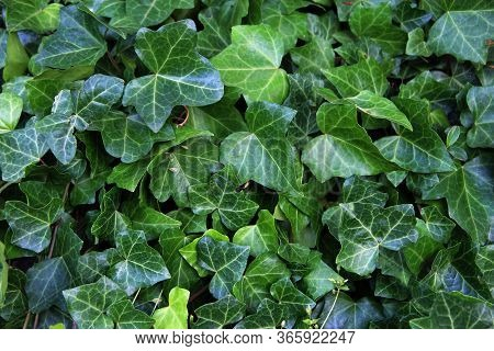 Natural Green Background From Hedera Helix. Closeup Of Hedera Helix Ivy Green Leaves. Natural Green