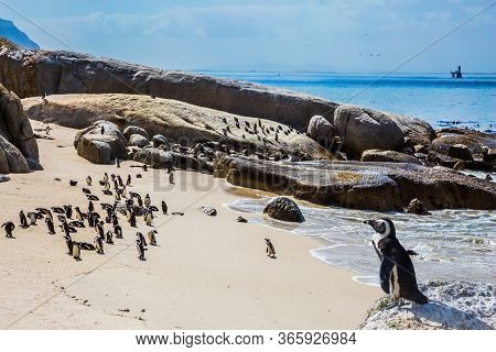African black-white penguins. Colony in the Table Mountain National Park, South Africa. Big boulders and seaweed on the coast of Atlantic. Boulders Penguin The concept of  ecotourism
