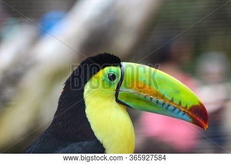 Keel-billed Toucan, Ramphastos Sulfuratus, Bird With Big Bill Sitting