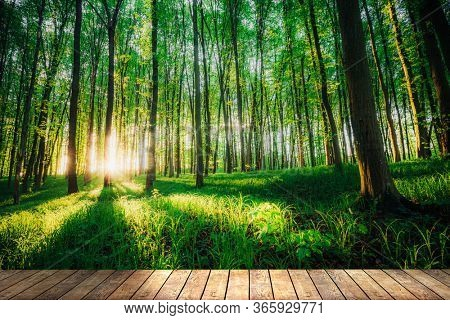 spring forest trees. nature green wood sunlight backgrounds on table wood backgrounds