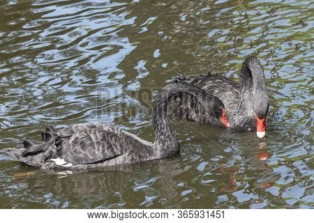 Two Black Swans With Red Beaks Swim In A Pond. One Swan Has Its Beak In The Water. The Sun Shines On