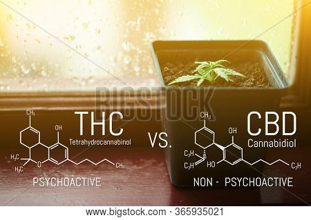 Growing Commercial Hemp, Growing Hemp From Seedlings. Cbd Cannabidiol - Thc Tetrahydrocannabinol Can