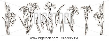 Blooming Irises, Monochrome Outline On A White Background.